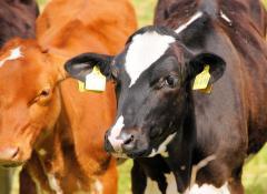 Cancerul mamar este cauzat de un virus prezent la vaci?
