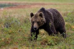 o persoana a fost atacata de urs la breaza barbatul a ajuns la spital in stare grava 18761256