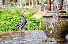 (P) Cum să administrezi corect porumbeilor medicamentele dizolvate în apă. Alege Produse Columbofile