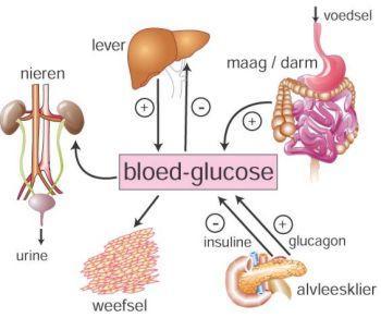 glucose naar glycogeen
