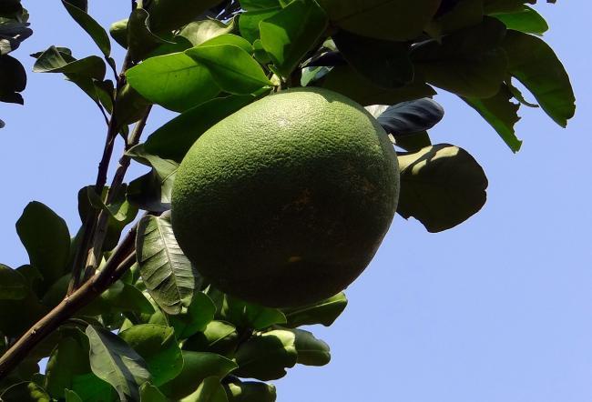Cinci efecte miraculoase ale fructului pomelo