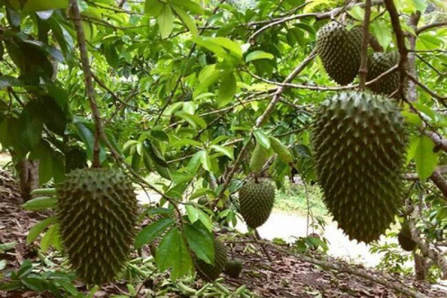 Copacul veÈ™nic verde ale carui fructe inving miraculos cancerul
