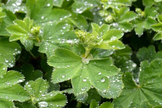 TRATAMENTE NATURISTE. Cel mai bun remediu al naturii pentru INFERTILITATE. Planta de care femeile nu ar trebui sa se desparta. 7 beneficii ale ei