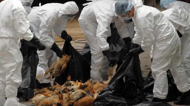 O noua suspiciune de gripa aviara in Delta Dunarii