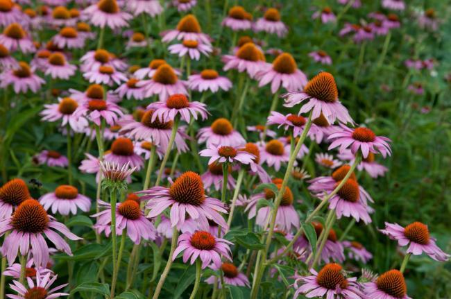 Naturisme. Echinaceea si polenul sporesc imunitatea