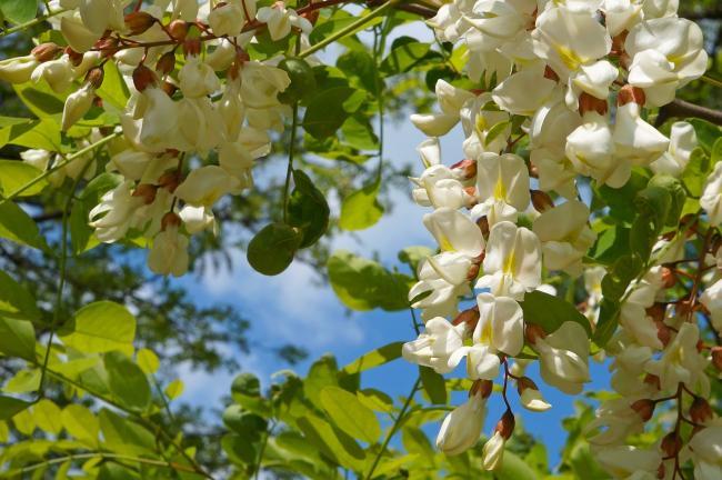 Efectul minunat al florilor de salcam