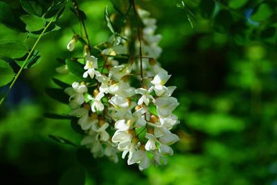 Efectul miraculos al florilor de salcam