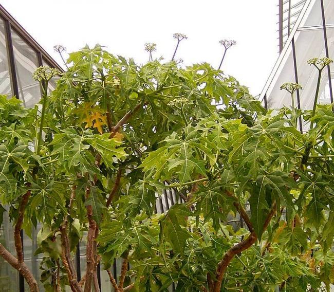 Copacul de spanac, planta minune care vindeca 100 de boli