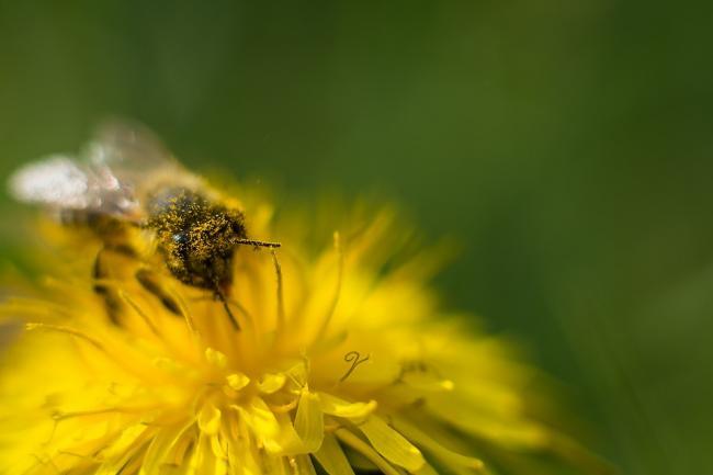 Pastura, painea albinei, intareÈ™te sistemul imunitar È™i elimina toxinele