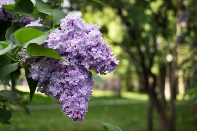 Proprietati terapeutice ale florilor si frunzelor de liliac