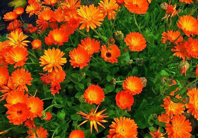 Plantele care sperie tantarii!