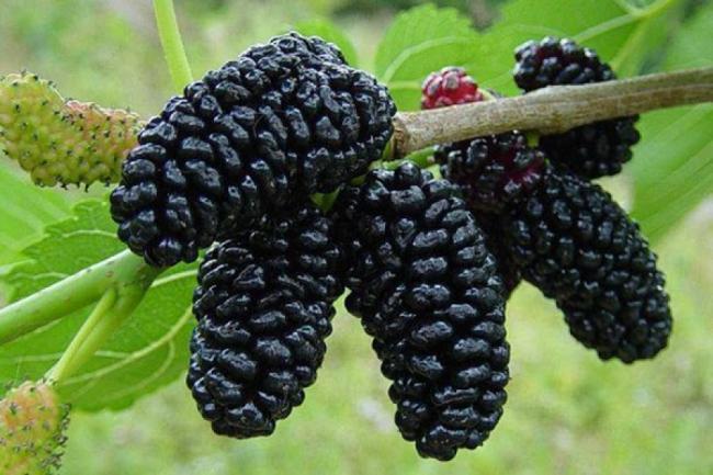 Tratamente naturiste. Dudele, fructele care iti prelungesc viata si beneficiile lor uimitoare