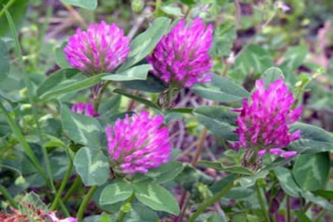 Tratamente naturiste. Planta din ograda care