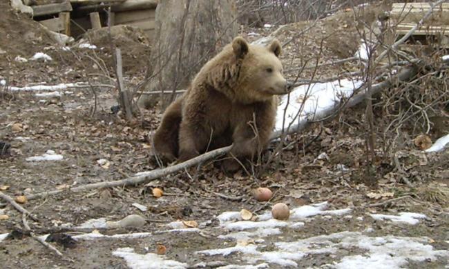 Juhászra támadt egy medve, ezúttal nem Székelyföldön