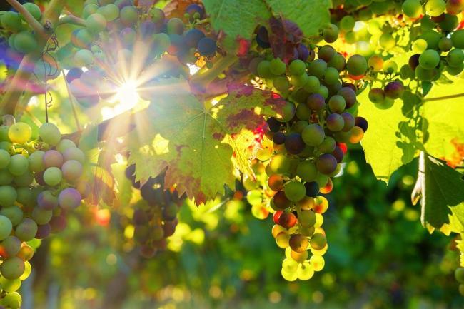 Vinuri: suntem în top la producție, nu și la exporturi