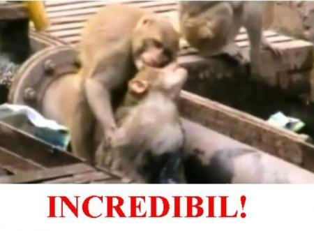 VIDEO IN-CRE-DI-BIL! O maimuţă încearcă disperată să-şi resusciteze partenera electrocutată. Şi REUŞEŞTE!