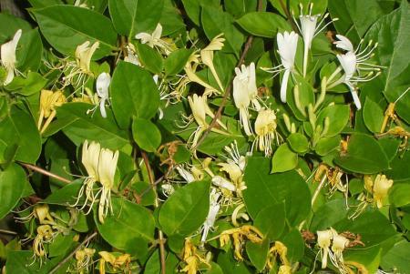 Caprifoiul sau Mâna-Maicii-Domnului, o plantă cu nenumărate valenţe. Bună pentru inimă si ajuta la vindecarea ranilor