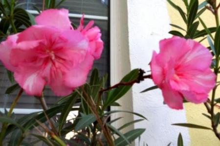 ATENŢIE la plantele ornamentale din locuinţă! TOP 3 flori periculoase care TE POT UCIDE