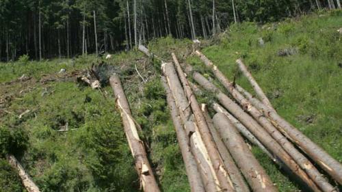 Inventarul termitelor care devastează pădurile României. Episodul 5: Termitele din România, cuibărite în Borşa şi Vişeu