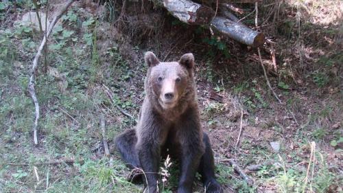 Fetiţă de 13 ani, rănită de un urs intr-un camping din Buşteni