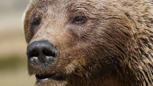 Hunedoara: Cioban, atacat de urs în Masivul Retezat