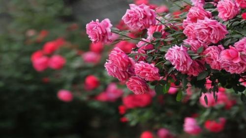 Grădina mea. Flori care poartă noroc de Anul Nou