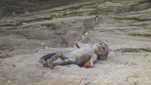 """VIDEO - Reacţia unor maimuţe la """"moartea"""" unui pui robotizat, incredibil de emoţionantă"""