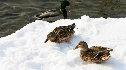 Lacul de acumulare Stânca-Costeşti, adăpost de iarnă pentru mii de raţe sălbatice şi zeci de lebede