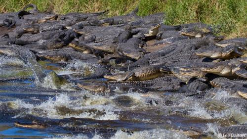 Un fotograf a surprins aproximativ 200 de crocodili strânşi în acelaşi loc într-un parc din Florida