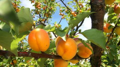 Sfaturi pentru agricultori. Tot ce trebuie să știi despre CULTURA CAISULUI în România