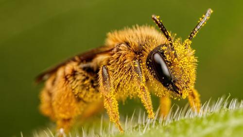 Beneficiile consumului de polen