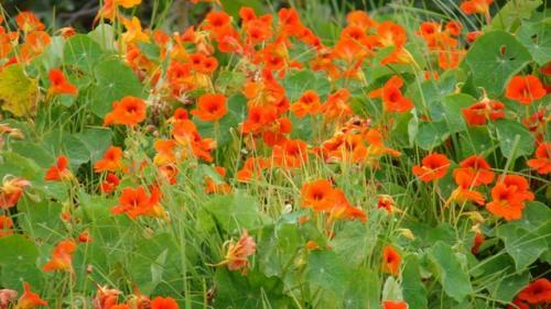 Cel mai bun antibiotic natural îl găsim în grădinile cu flori