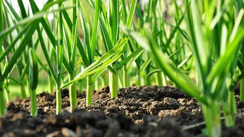 Cum se cultivă usturoiul? Sfaturi pentru agricultori