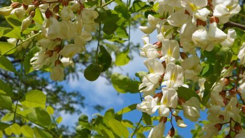 Efectul minunat al florilor de salcâm