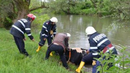 Pompierii buzoieni au salvat de laînec o vaca și un vițel