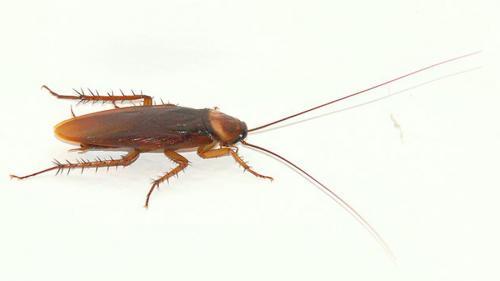 7 metode de a scăpa de gândacii de bucătărie, fără insecticide toxice