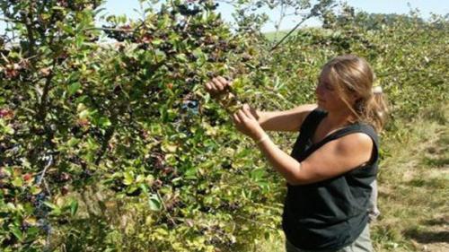 Cultura de aronia, 5 pași spre reușită. Plantația care vă poate îmbogăți cu 12.000 de euro anual (sfaturi pentru agricultori)