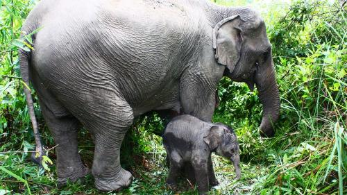 Zeci de elefanţi din Laos vânduţi ilegal la grădinile zoo din China