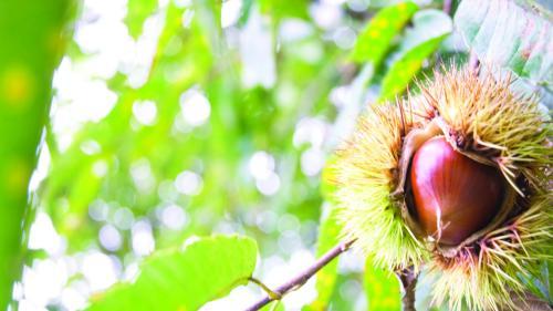 Unic pe plaiuri mioritice.Cea mai mare pădure de castani comestibili
