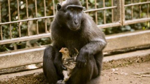 Un macac singuratic a adoptat un pui de găină