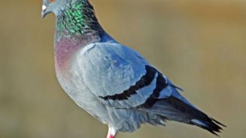 Studiu: Porumbeii mai pricepuți ca oamenii la efectuarea mai multor sarcini în același timp