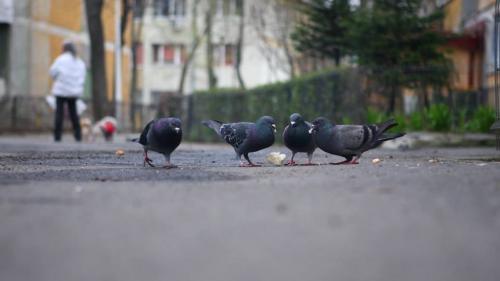Porumbeii, mai pricepuţi decât oamenii la efectuarea mai multor sarcini în acelaşi timp