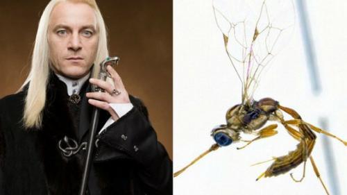 O specie de viespi din Noua Zeelandă a primit numele unui personaj din seria Harry Potter