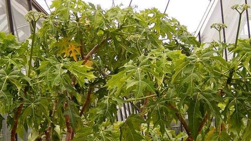 Copacul de spanac, planta minune care vindecă 100 de boli