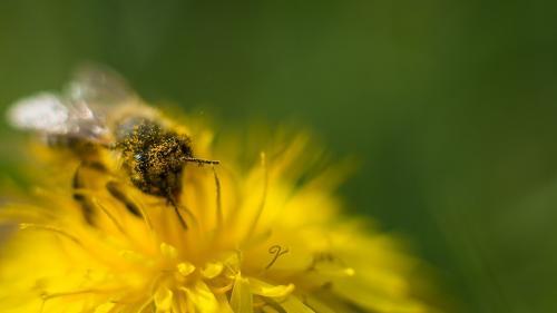 Păstura, pâinea albinei, întărește sistemul imunitar și elimină toxinele