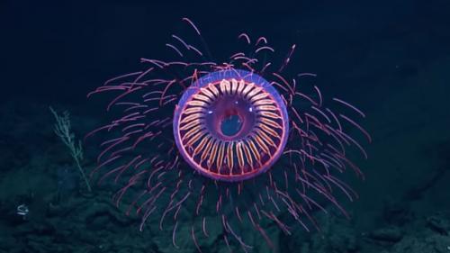VIDEO - O meduză ca un foc de artificii, descoperită la adâncimea de 1500 m