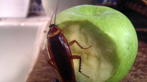 Cum să scapi de gândacii de bucătărie fără soluții toxice