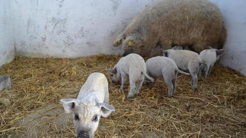 Sfaturi pentru agricultori. Ferma de creșttere a porcilor Mangalița - cum poate să aducă profit