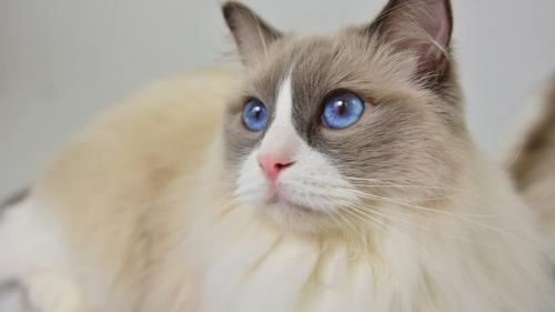 Expoziția Felină Internațională de Primăvară SofistiCAT - Cats & Tales