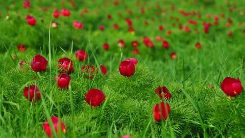 Bujorii de stepă de la Zau de Câmpie, singurul loc din Europa în care aceştia au supravieţuit, au început să înflorească